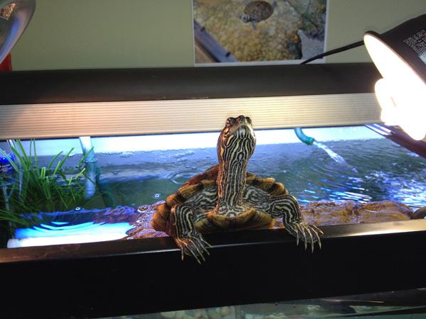 Limpeza de Aquário de Tartaruga