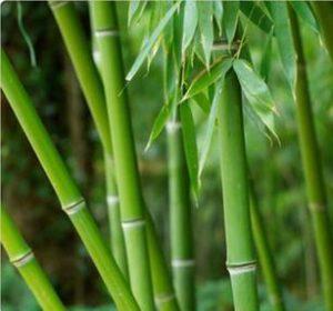 Limpeza de Bambu